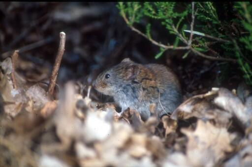 Klatremusen er bare én av mange smågnagere som trekker inn i boliger når det blir kaldt ute.  Foto: Vidar Selås