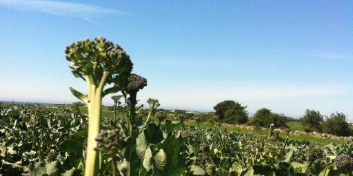 image: Brokkolini er den nye mote-grønnsaken