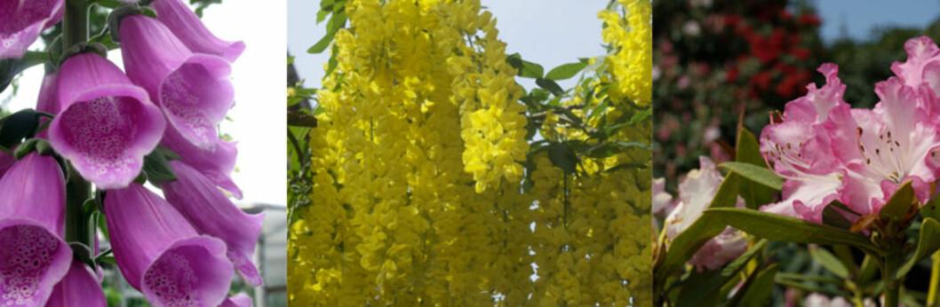 <strong><strong>GIFTIGE:</strong></strong> Tre vakre planter, men alle er giftige. Fra venstre - revebjelle, gullregn og rhododendron. Foto: Colourbox.com