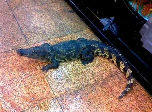 Slik krabbet den lille krokodillen rundt på gulvet før den ble mat for sultne gjester. Foto: Privat