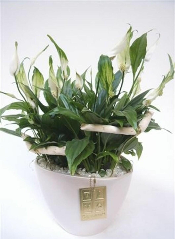 <strong><b>Fredslilje, Spathiphyllum:</strong></b> Er det dårlig med lys hvor du bor? Da er denne planten kanskje noe for deg. Den tåler nemlig å stå i de mørkeste korker, eneste den krever er å få nok vann. Dersom du glemmer å gi den vann, er det ikke krise. Planten tåler å tørke opp, men den bør hovedsakelig bli vannet jevnlig. Høy luftfuktighet er også et pluss for denne planten.  Foto: Mester Grønn