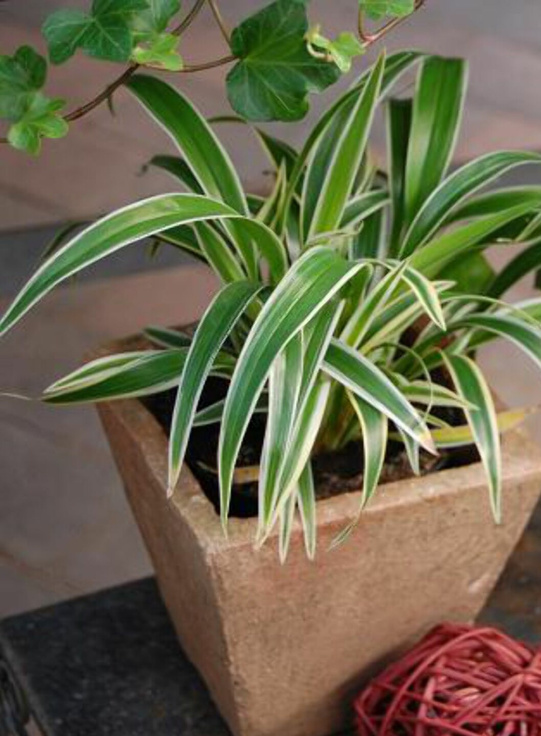 <strong><b>Grønnrenner, Chlorophytum comusum:</strong></b> Denne bladplanten går for å være evigvarende, og er som skapt for deg som er dårlig med plantestell. Den tåler de fleste lysforhold, og takler både mye og lite vann. Dersom du trenger en plante til baderommet ditt, er denne perfekt. Den skal også forbedre luftkvaliteten.  Foto: OBP