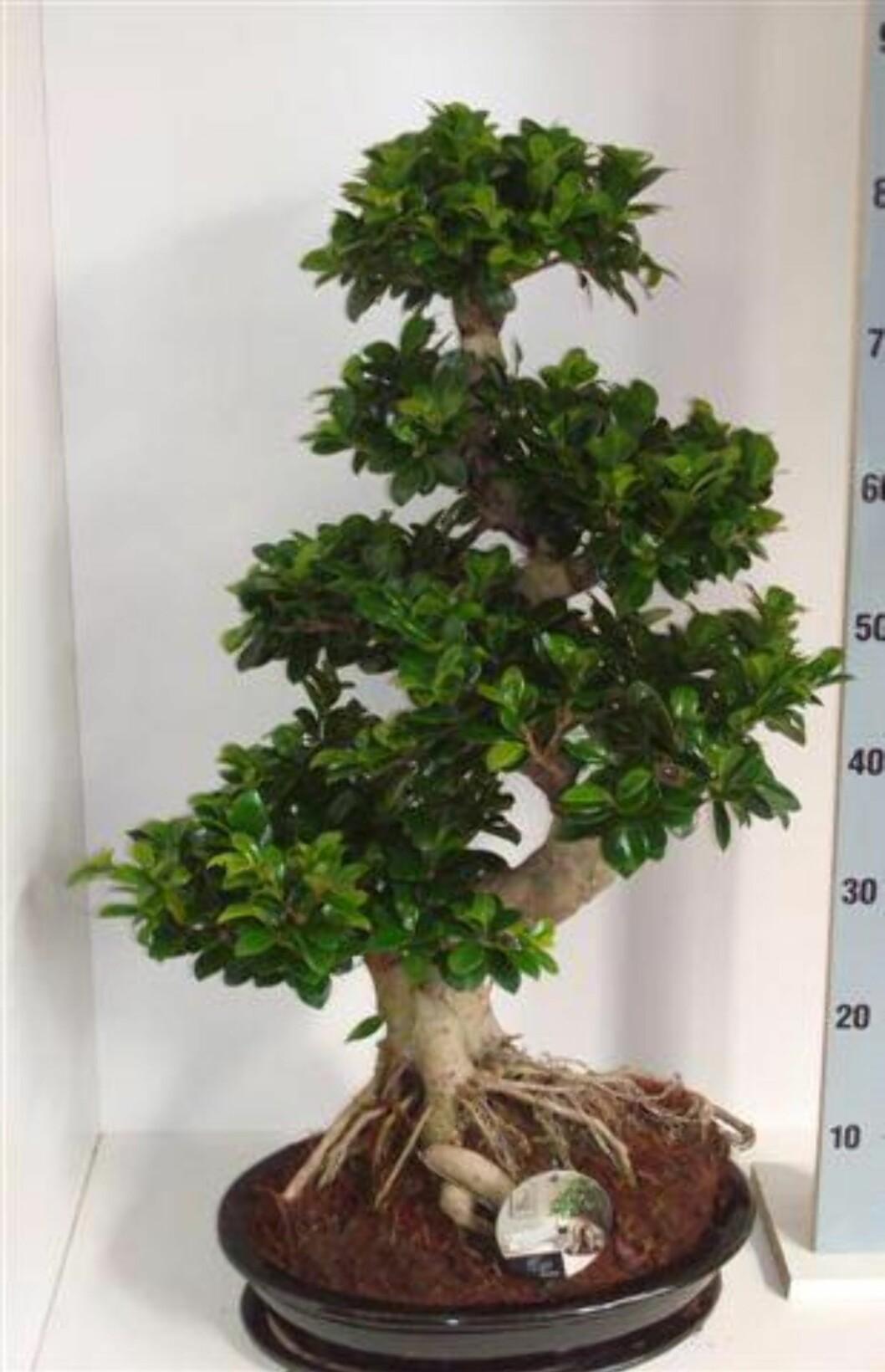 <strong><b>Ficus Ginseng:</strong></b> Dette er vår tids mest moderne bonsai, ifølge Mester Grønn. Disse er mer robust og tåler bedre tørke en de tradisjonelle bonsai-typene. Planten finnes i mange størrelser og varianter. Foto: Mester Grønn