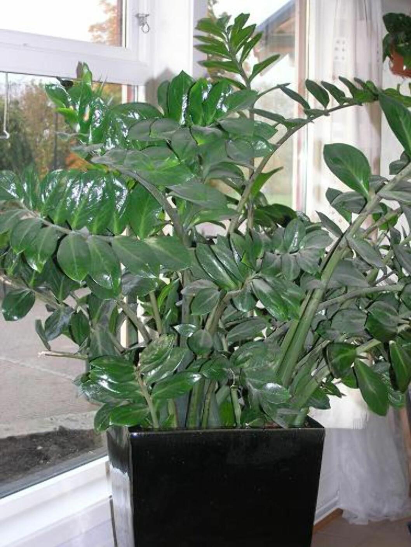 <strong><b>Smaragdpalme, garderobeplante, Zamioculcas:</strong></b> Garderobeplanten klarer seg nesten uansett hvor lite vann eller hvor lite oppmerksomhet den får. Både stilkene og røttene kan lagre vann i tørkeperioder, men hvis du vanner du den for mye, vil den råtne. Planten tåler de fleste lysforhold, og foretrekker vanlig stuetemperatur. Den skal også tåle trekken fra en varmepumpe.  Foto: OBP