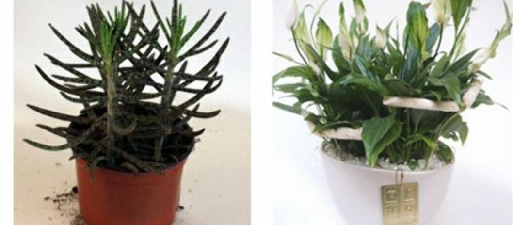 Har du lett for å drepe planter? Horebukken (til venstre) og Fredslilje er blant de plantene som tåler mest. Foto: OBP/Mester Grønn/Montasje