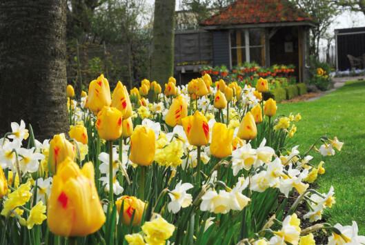 Du legger grunnlaget for våren nå. Foto: Opplysningskontoret for blomster og planter