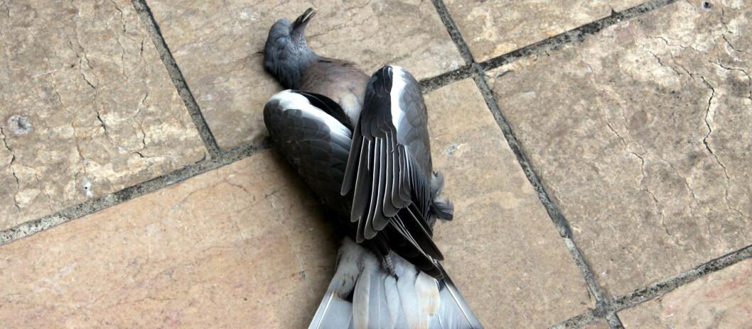 Det ender ikke alltid godt når fuglene kræsjer i vinduet... Foto: Colourbox.com