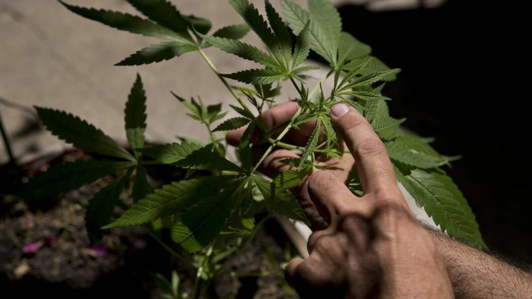 <strong>PÅVIRKER OGSÅ OMGIVELSENE:</strong> «Det mindre fashionable faktumet er imidlertid at bruken av cannabis slettes ikke bare angår brukeren selv», skriver kronikkforfatteren som svar til Lisa Lind Nilsen som i helga forsvarte bruk av rus på stoffer framstilt av Cannabisplanten (bildet). Illustrasjonsfoto: Pablo Porciuncula / Afp / NTB-Scanpix