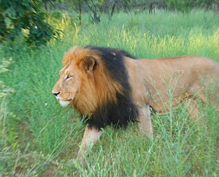 Luksus og løvetreff i Sør-Afrika