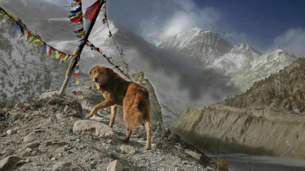 NEPAL: Hund på fjelltur i Nepal. Foto: JACQUES HVISTENDAHL