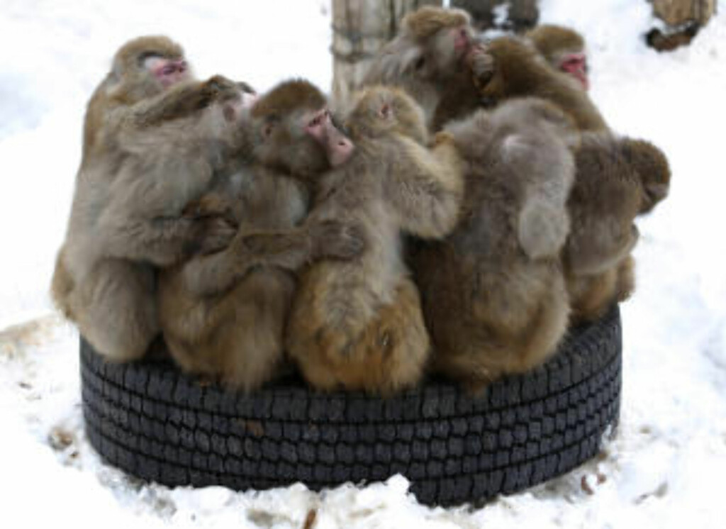 SAPPORO:  Makaka-aper fryser i kulda i Sapporo Maruyama Zoo. Foto: ISSEI KATO/REUTERS/NTB SCANPIX