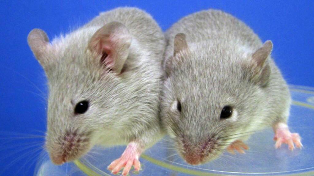 BLE YNGRE: Forskere har klart å reversere aldringen hos mus. Musene på bildet er ikke de samme musene som ble brukt i forsøkene. Foto: Kyoto University / AFP Photo