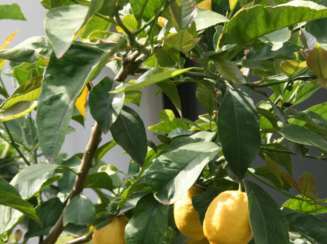 I hagen til klosteret i Hvar by vokser sitrusfruktene. Foto: Stine Okkelmo