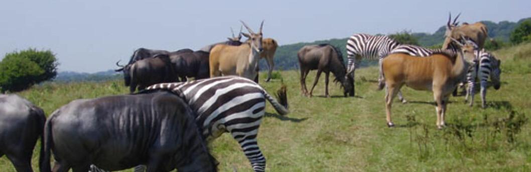 Savannens ville dyr, midt i tjukkeste ... England??? Foto: totallywild.net
