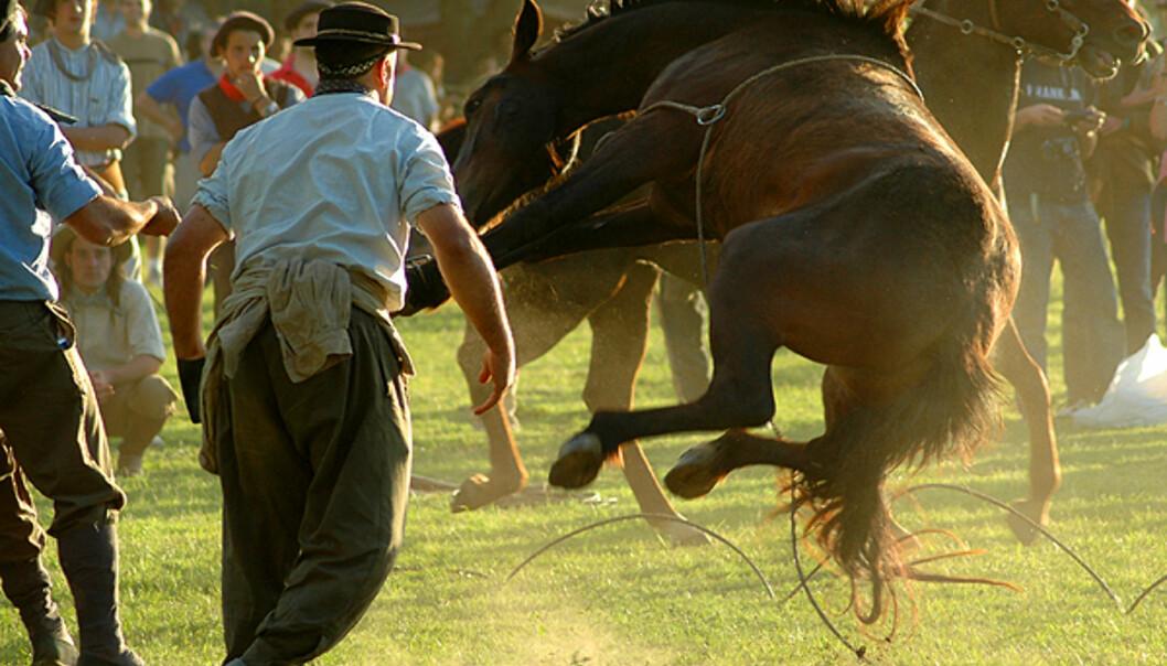 Ekte mannfolk slåss med hester