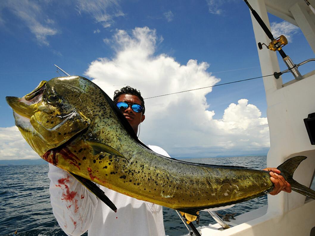 En nydratt mahi mahi, eller dolphin fish, utenfor Playa del Coco nord på Stillehavskysten. Dette er et av de beste stedene i verden for fiske av Big Game.  Foto: Hans Kristian Krogh-Hanssen