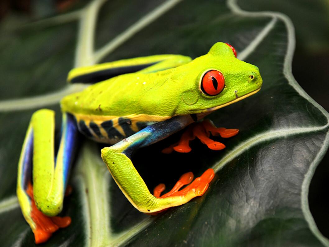 En rødøyet trefrosk krabber på et blad i La Fortuna ved Arenal. Frosken er på mange måter symbolet på Costa Ricas utrolig fargefulle natur.  Foto: Hans Kristian Krogh-Hanssen