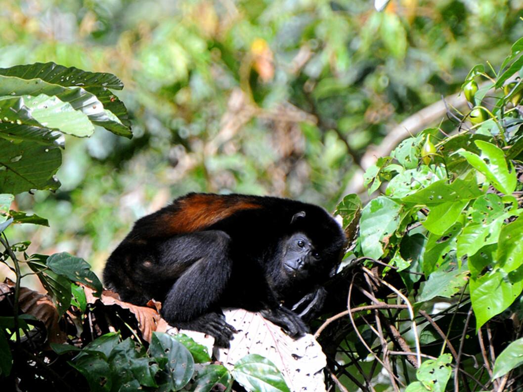En brøleape ved foten av vulkanen i Arenal. Ganske skye av natur, kan apene likevel høres over lang avstand når de roper på hverandre. Noe som kan minne mer om mishandling enn kommunikasjon.   Foto: Hans Kristian Krogh-Hanssen