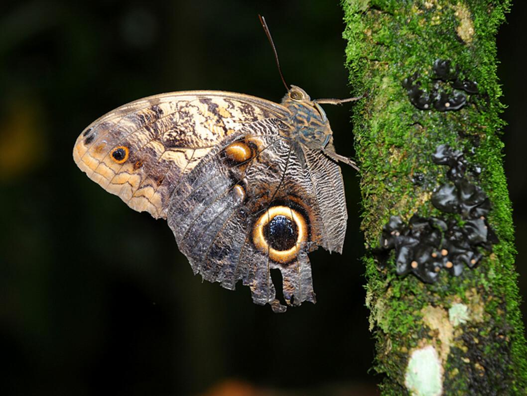 Uglesommerfuglen har fått navnet sitt på grunn av den øyelignende tegningen på vingen. Det mest fasinerende med den er likevel forsvarsmekanismen mot fugler som vil spise den. Ser du venstre del av vingen, så ligner den på et slangehode.  Foto: Hans Kristian Krogh-Hanssen