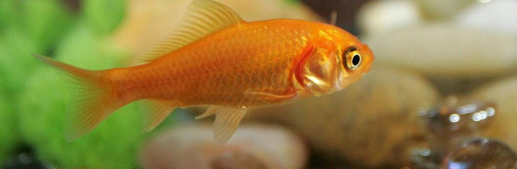 <strong>Husker du bedre enn gullfisken? Foto:</strong> colourbox.com