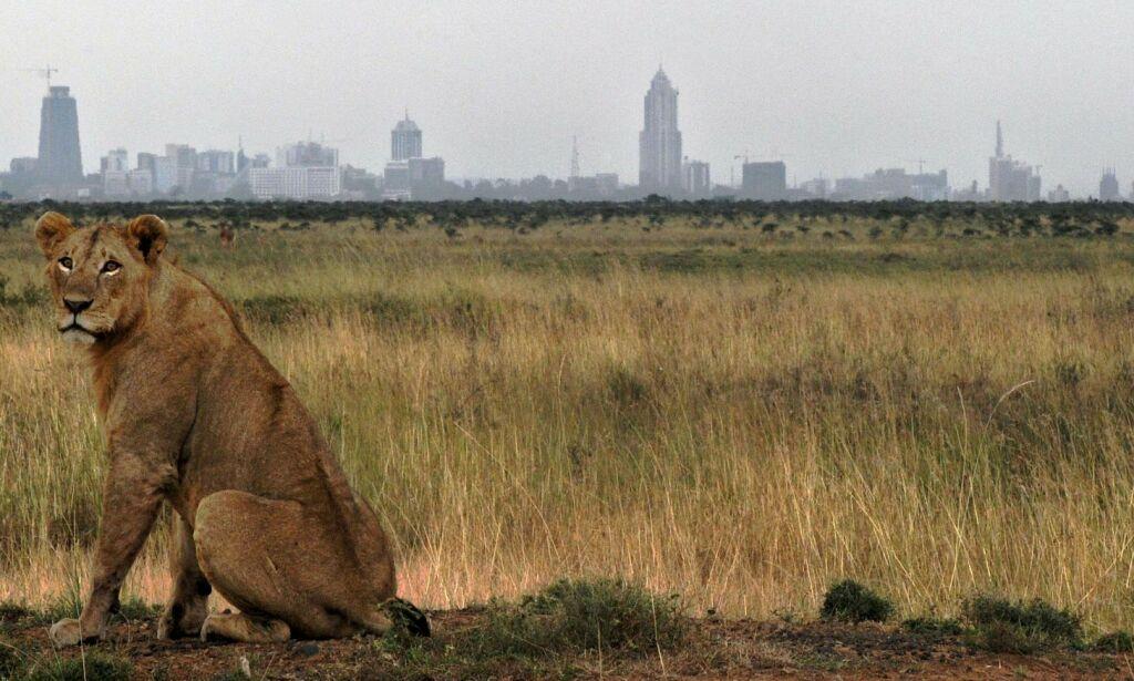 image: I Nairobi besøker løvene forstedene: - Vi er fanget mellom by og villmark
