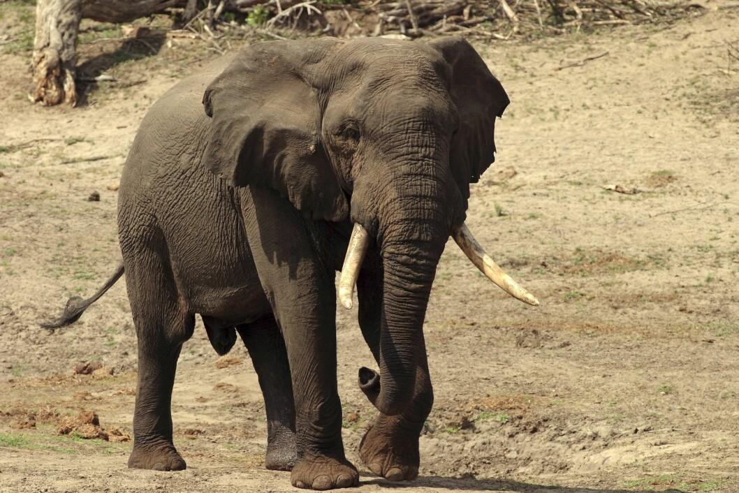 Elefant  var narkoman