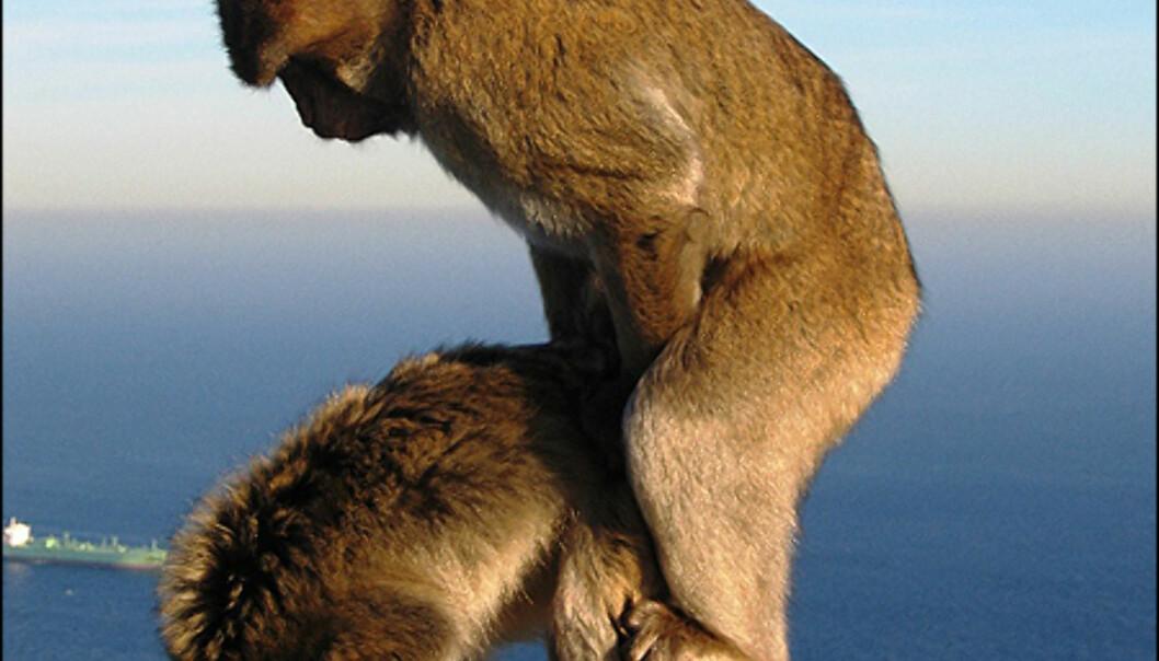 Sommeryre aper. Foto: Knut H. Myklebust