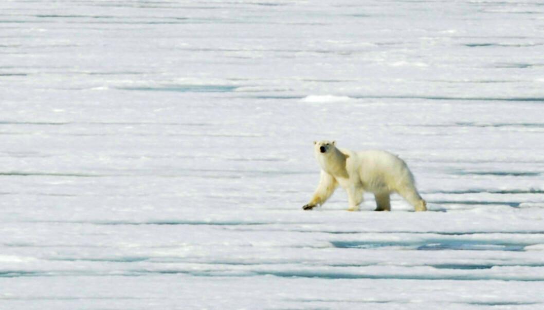 Isbjørnen går i hi fra november til månedskiftet februar/mars. De kan få opp til tre unger som veier en kilo ved fødsel. Ganske uvirkelig når du ser en hannbjørn som denne vandre nedover isen.   Foto: Hans Kristian Krogh-Hanssen