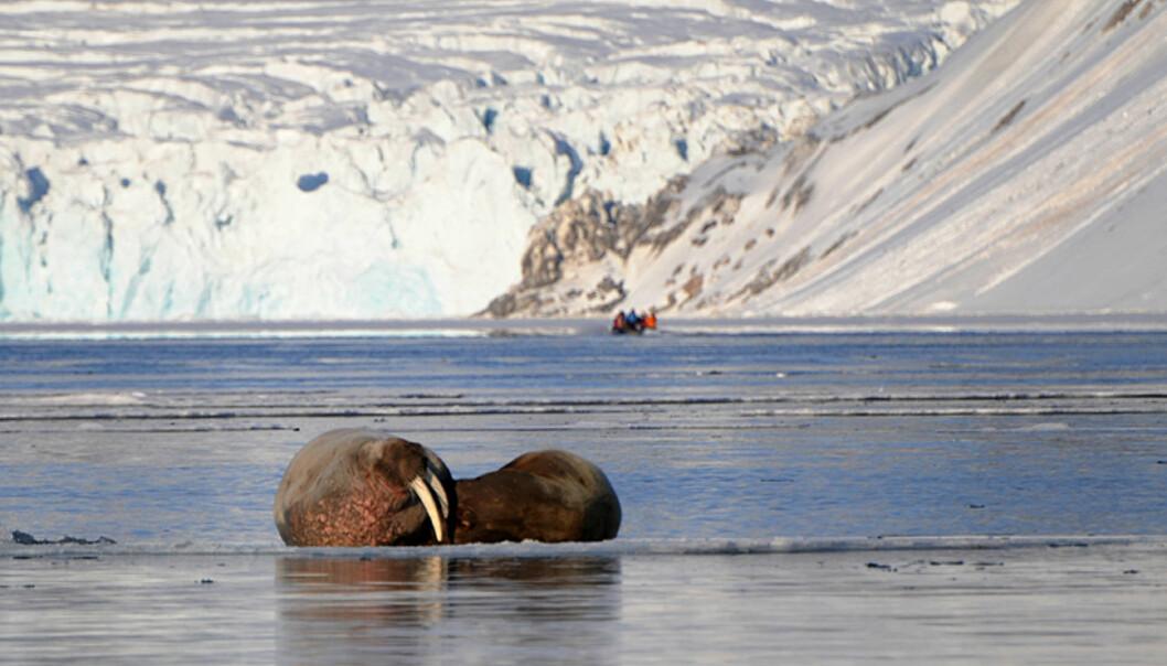 Hvalrossene ser ikke ut til  bry seg for mye om gummibåtene våre, men vi holder fortsatt god avstand for ikke å forstyrre dyrene i sitt naturlige habitat.  Foto: Hans Kristian Krogh-Hanssen