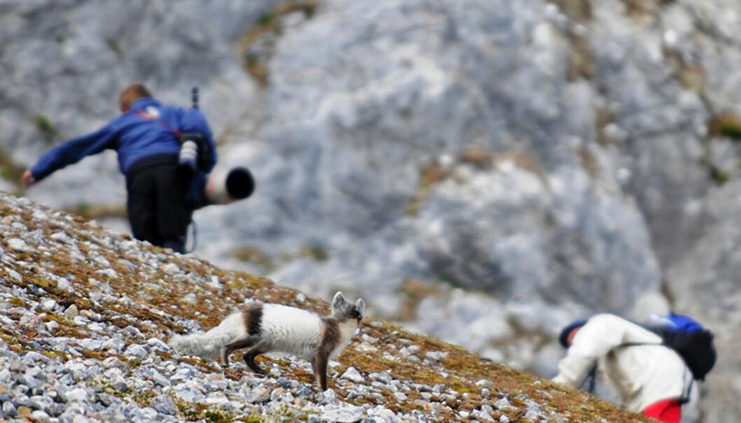 Noen ganger ser naturen deg før du ser den. Denne polarreven er i ferd med å skifte til sommerpels, noe som kamuflerer den godt.  Foto: Hans Kristian Krogh-Hanssen
