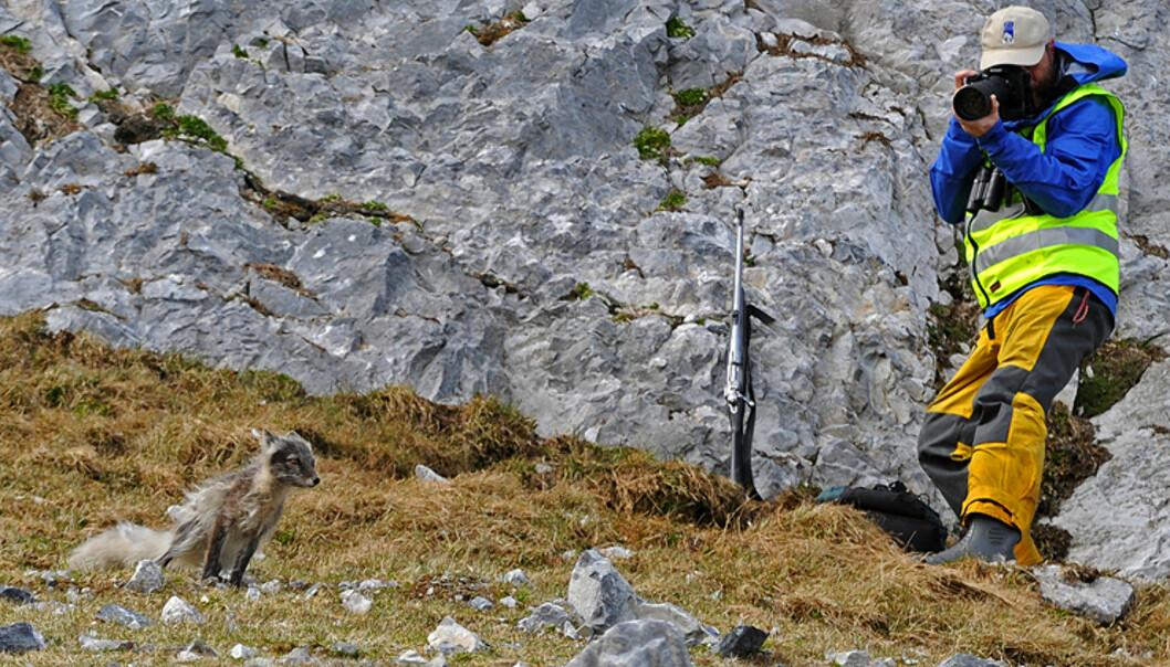 Polarreven liker seg gjerne under fuglefjell hvor den sanker egg og annen passende mat.  Foto: Hans Kristian Krogh-Hanssen