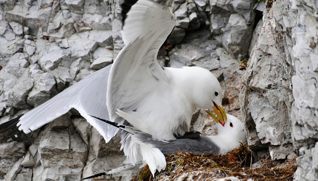 Måker som parer seg i fuglefjellet.  Foto: Hans Kristian Krogh-Hanssen