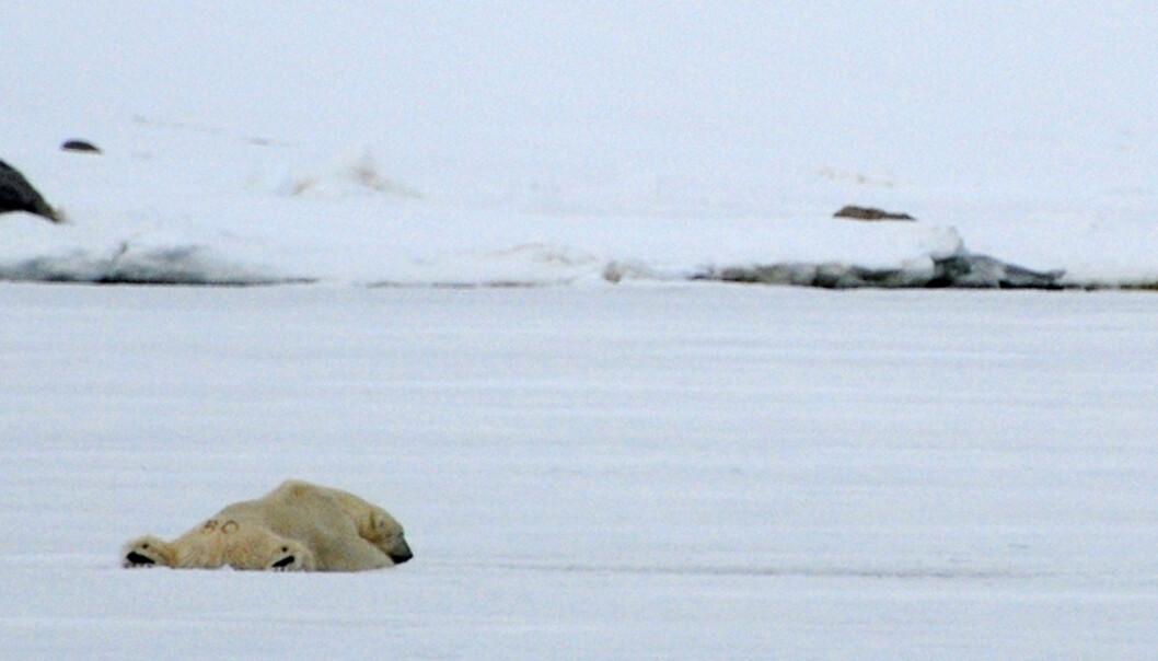 En ung isbjørn ligger og venter på sel ved et selhull på isen i Ayerfjorden. Isbjørnen regnes som et maritimt dyr av forskere, siden den tilbringer mesteparten av livet sitt på isen og ikke på fastlandet. En voksen bjørn kan også svømme i to dager uten pause. Denne ser ut til å tatt seg en god pause derimot. Merket på stumpen er fra forskere som nummererer bjørnen.    Foto: Hans Kristian Krogh-Hanssen