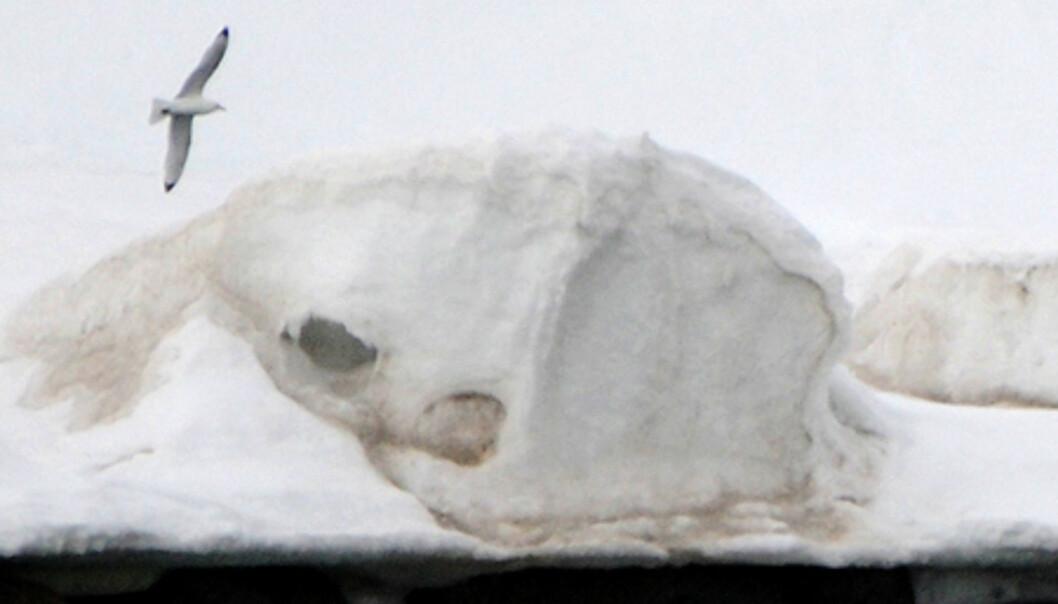 I Ayerfjorden får vi også sett denne bjørnen som koser seg med et reinsdyrkadaver i vannet. Isbjørnen tar som regel ikke reinsdyr siden det koster for mye energi å løpe etter dem.  Foto: Hans Kristian Krogh-Hanssen
