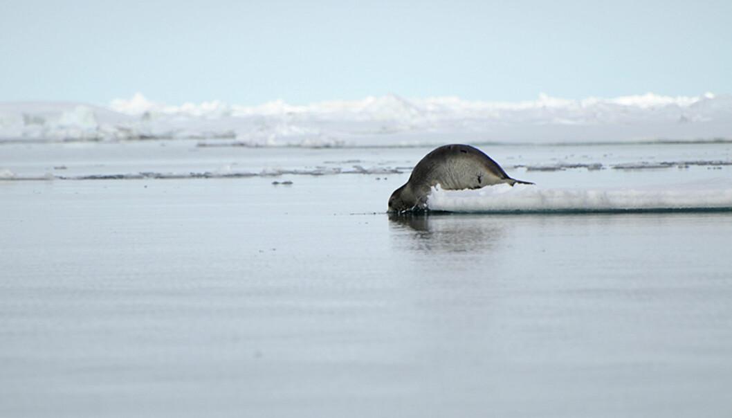 En sel forlater isflaket sitt for den litt mer trygge tilværelsen i vannet.  Foto: Hans Kristian Krogh-Hanssen