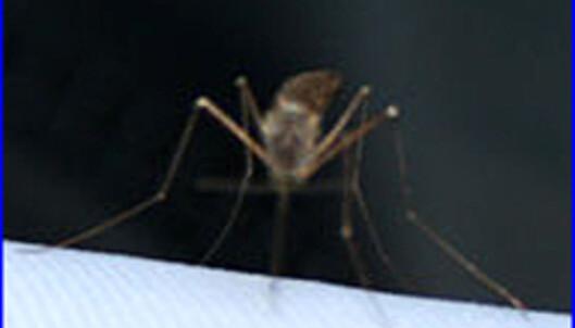Myggen er overalt. Du sover med den, spiser med den og noen ganger spiser du den også. Foto: Anette Cvijanovic