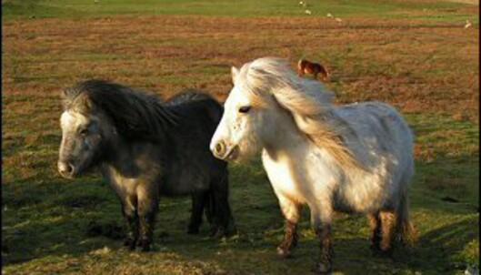 Shetlandsponniene hører til på øyene lenger nord, men trives godt på Orknøyene, også. Foto: www.photito.com