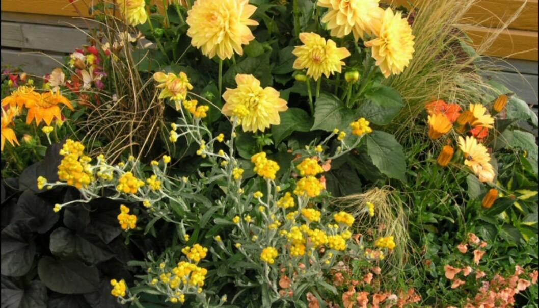 I denne krukken er det Georginer, Gazania, Helichrysum, Diascia og prydgress. <i>Foto: Opplysningskontoret for Blomster og Planter</i> Foto: Opplysningskontoret for Blomster og Planter
