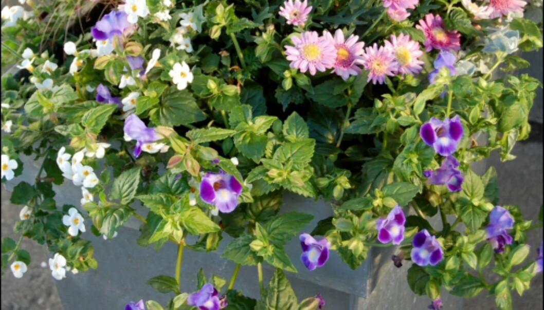 Her er fargede margeritter plantet sammen med prydgress. Bacoba, Torenia, Superpetunia og Helichrysum henger ned langs kanten for å gi fylde. <br /> <i>Foto: Opplysningskontoret for Blomster og Planter</i> Foto: Opplysningskontoret for Blomster og Planter