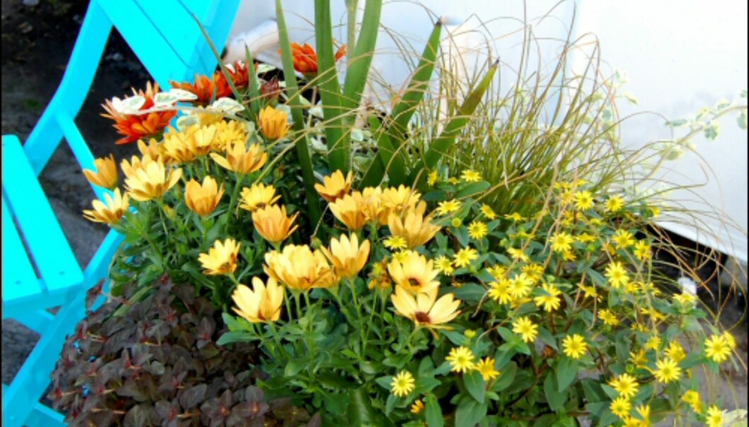 I midten stikker en kengurupote opp, og spanske margeritter, prydgress, samt Gazania er plantet rundt. Sentradenia og Sanvitalia er plantet ytterst slik at de kan henge utover kanten. (Bilde nummer 3)<i>Foto: Opplysningskontoret for Blomster og Planter</i> Foto: Opplysningskontoret for Blomster og Planter