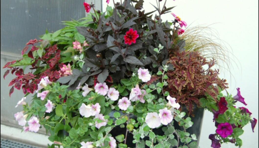 Planter med fargete blader er gode valg til steder med litt skygge. Her er det brukt Coleus, prydgress og Helichrysum i kombinasjon med sommerblomstene georginer og superpetunia som går i samme fargenyanser. <i>Foto: Opplysningskontoret for Blomster og Planter</i> Foto: Opplysningskontoret for Blomster og Planter