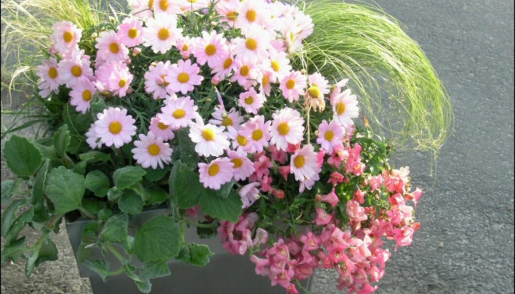 Denne krukken med fargete margeritter, Diascia, prydgress og Helichrysum passer fint på en solrik uteplass. <i>Foto: Opplysningskontoret for Blomster og Planter</i> Foto: Opplysningskontoret for Blomster og Planter