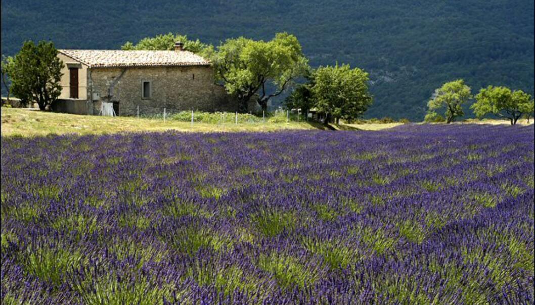 Sensommer er lavendeltid. Foto: www.photito.com