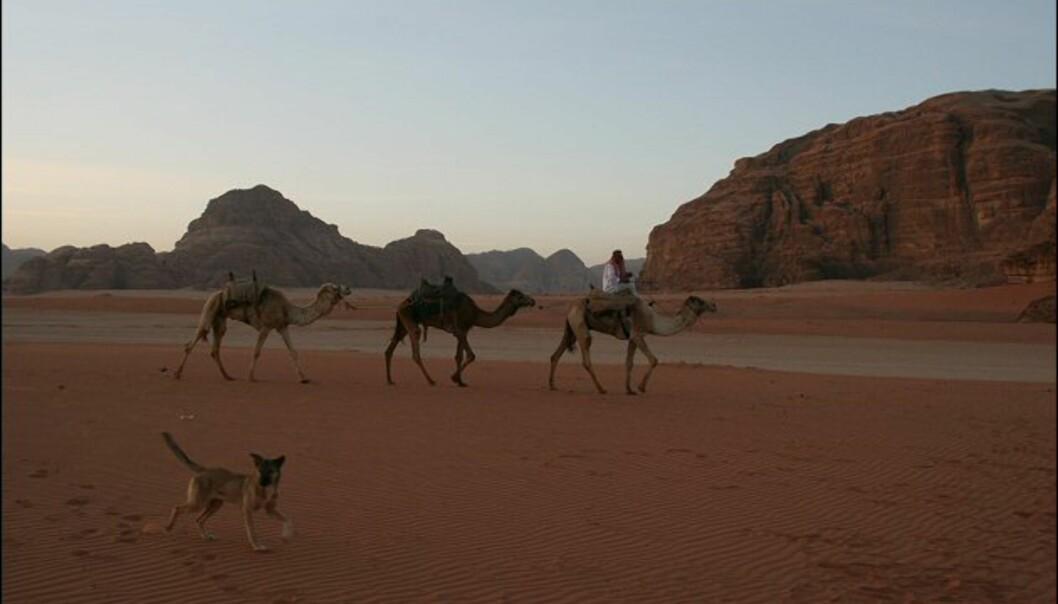 En lokal beduin lurer på om vi ikke vil ha en morgentur på kamelene hans.