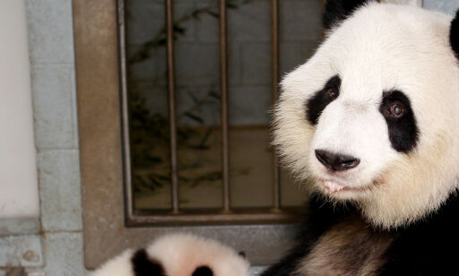 image: - Pandaen ikke lenger utrydningstruet