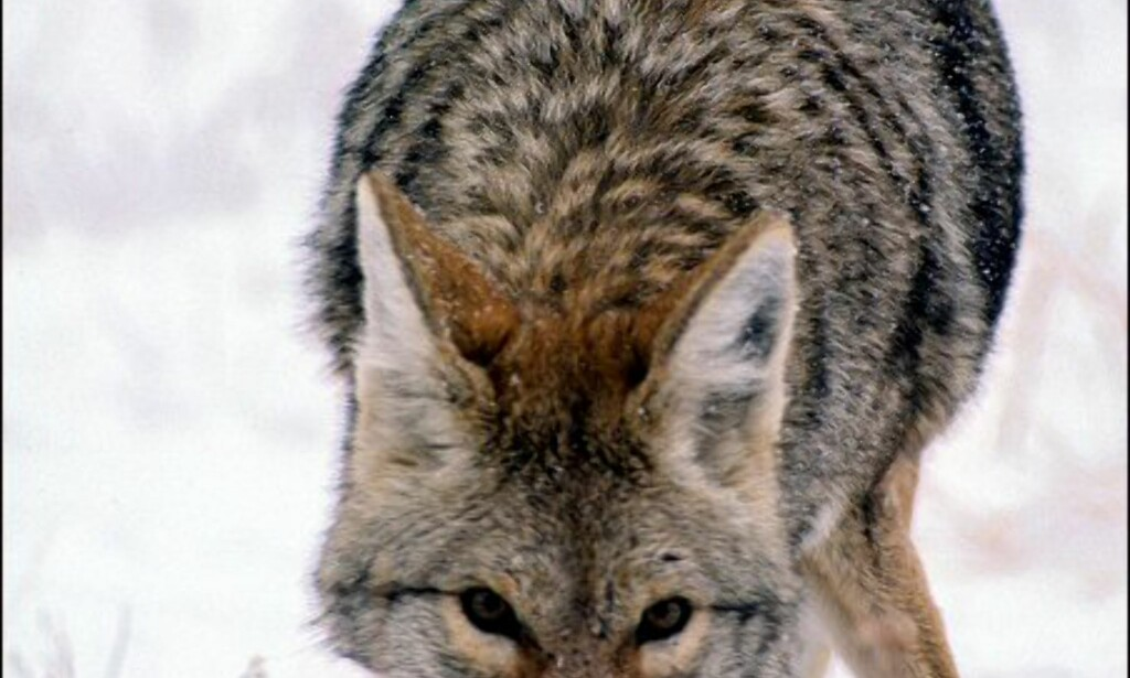 Coyotene trives i The Rockies. Foto: Yellowstone National Park