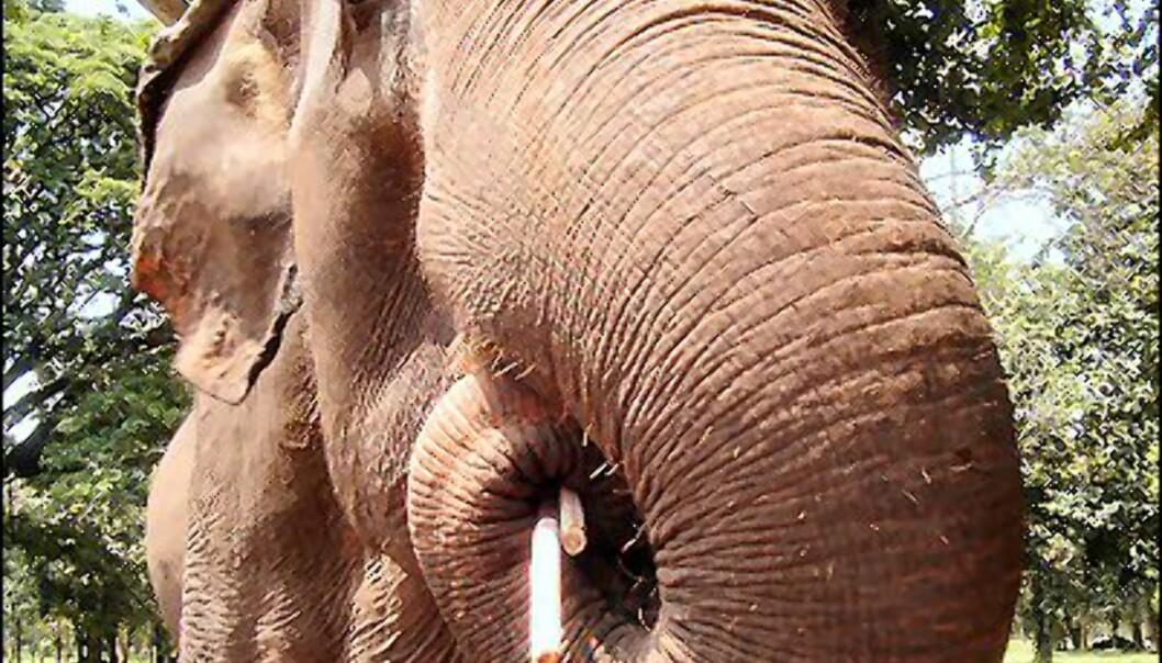 Thailands elefanter er høyt elsket. Flere steder kan du dra på rideturer med dem. Foto: Juthamart Jiwasang
