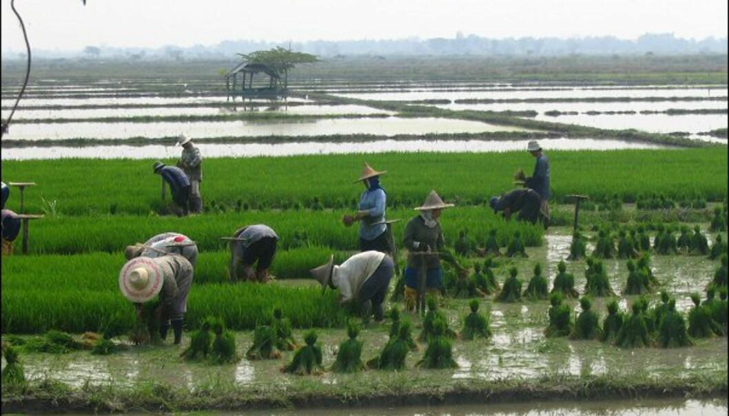 Ris er for thailenderne hva poteten er for oss.  Foto: Gili Fahima