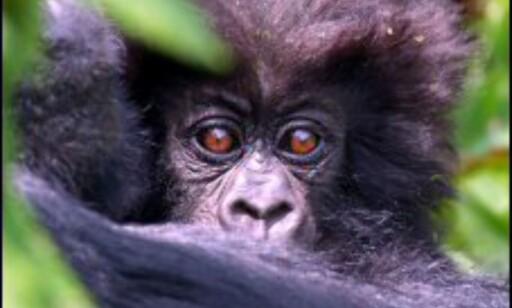 Fjellgorillaene i Afrika har en dyster framtid i møte. Foto: Hochleitner