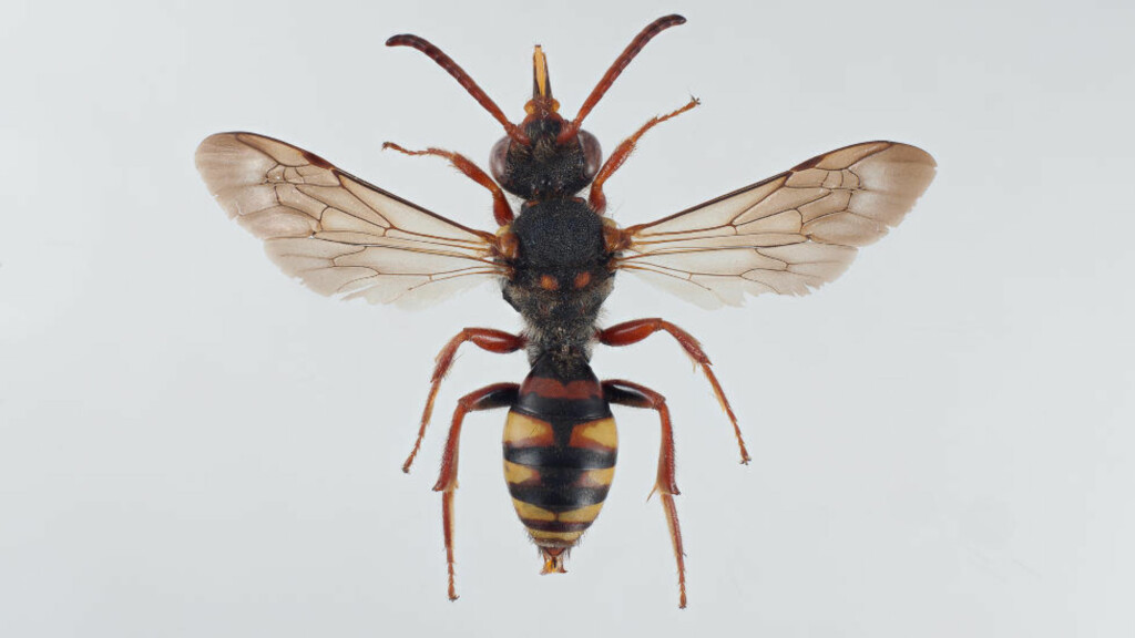 EN GJØK: Tannvepsebien (Nomada subcornuta) tar seg inn i bolet til én annen sjelden bieart og legger egg. Når larvene klekkes spiser de larvene til den andre bien. Foto: Arnstein Staverløkk / NINA.